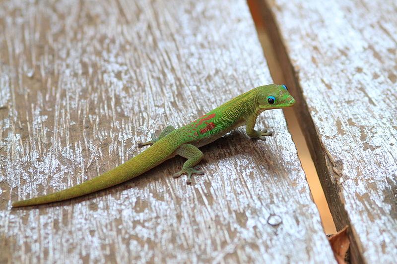 L'étude mathématiques montre que les geckos sont capables d'équilibrer la force de gravité en appliquant leur propre force à un mur. Ils peuvent appuyer et faire glisser leurs pattes vers leur corps sans tomber. © Biscutella, Wikimedia Common
