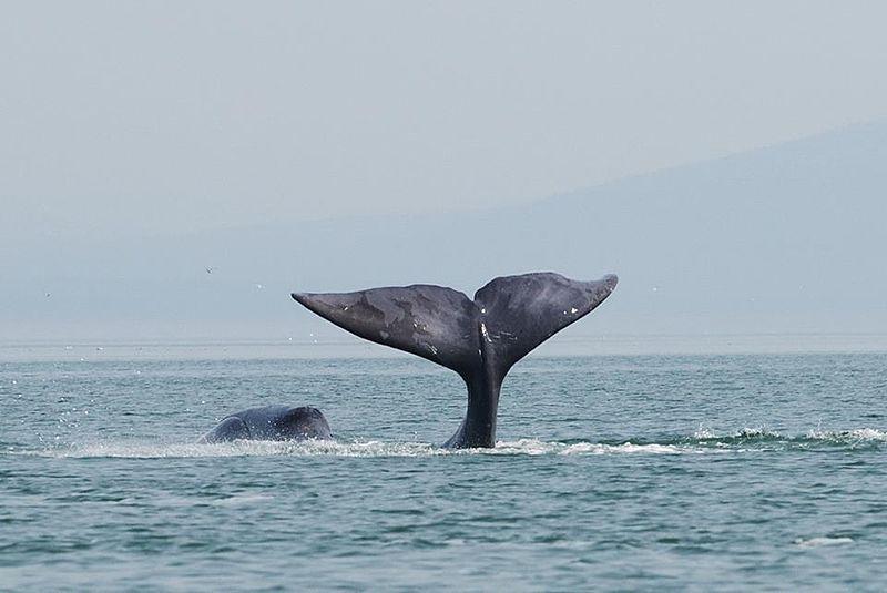 Vivant dans les eaux arctiques, la baleine boréale est un cétacé mesurant jusqu'à 20 mètres pour un poids d'une centaine de tonnes. © Olga Shpak, Wikimedia Commons, cc by sa 3.0