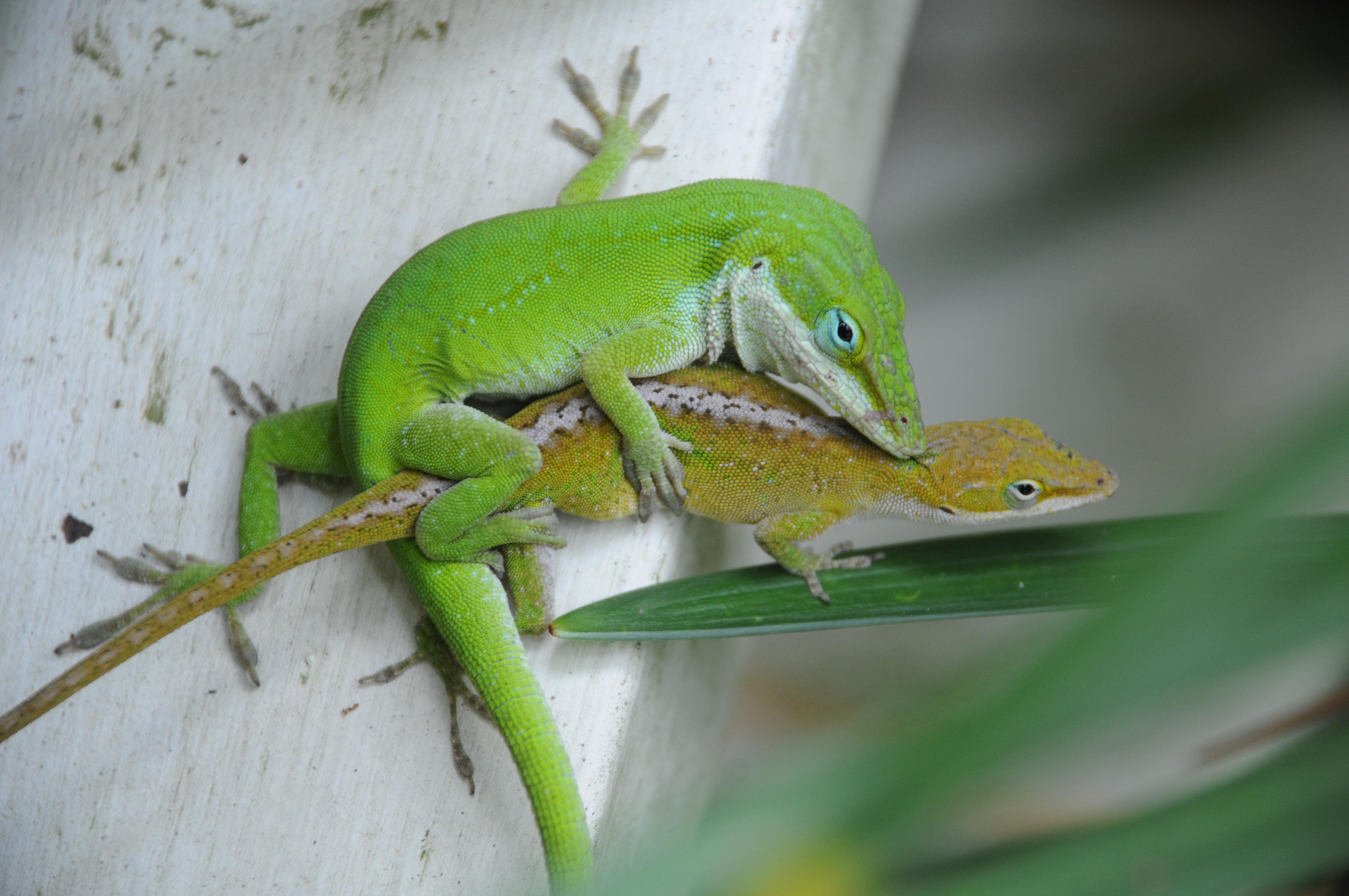 Les lézards mâles, comme cet anole vert (Anolis carolinensis), possèdent un organe copulateur tubulaire finalisé par deux hémipénis symétriques d'où s'écoule la semence. © Cowenby, Wikimedia, CC by-sa 3.0