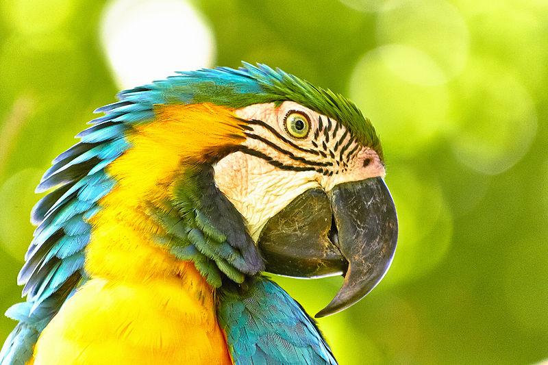 Les oiseaux vivant à la cime des arbres tropicaux, en Amazonie, comme cet Ara ararauna, accumuleraient moins de nouvelles espèces au cours du temps que ceux vivant dans le sous-bois. © Stopshutter, Wikimedia Commons, cc by sa 3.0