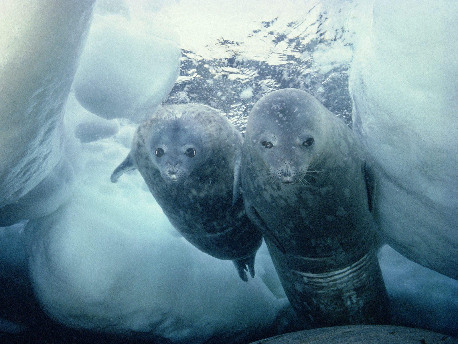 Le phoque de Weddell, de la famille des pinnipèdes, peut passer une heure à chasser des poissons à 600 m de profondeur. © Changehali, Wikimedia Commons, cc by sa 2.0