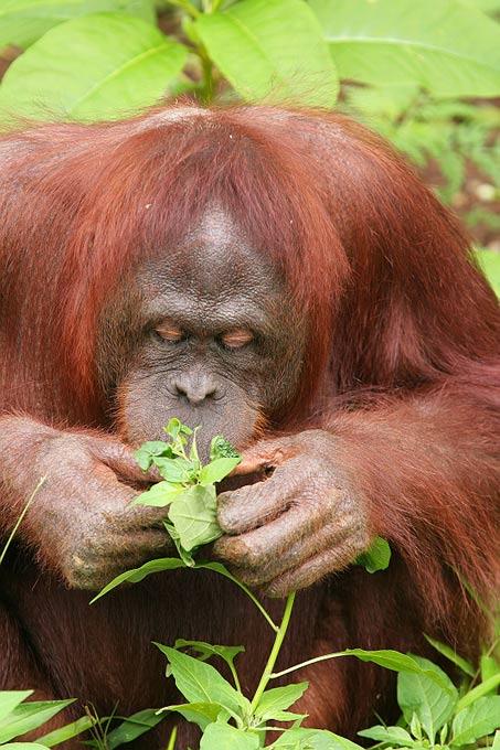 L'orang-outang, dont le nom signifie « homme de la forêt » en malais, se nourrit la plupart du temps de fruits, de jeunes pousses, d'écorces, de petits vertébrés, d'œufs d'oiseaux et d'insectes. Chaque jour, il construit un nid dans la canopée des arbres pour y passer la nuit. © Suneko, Wikimedia Commons, CC by sa 3.0