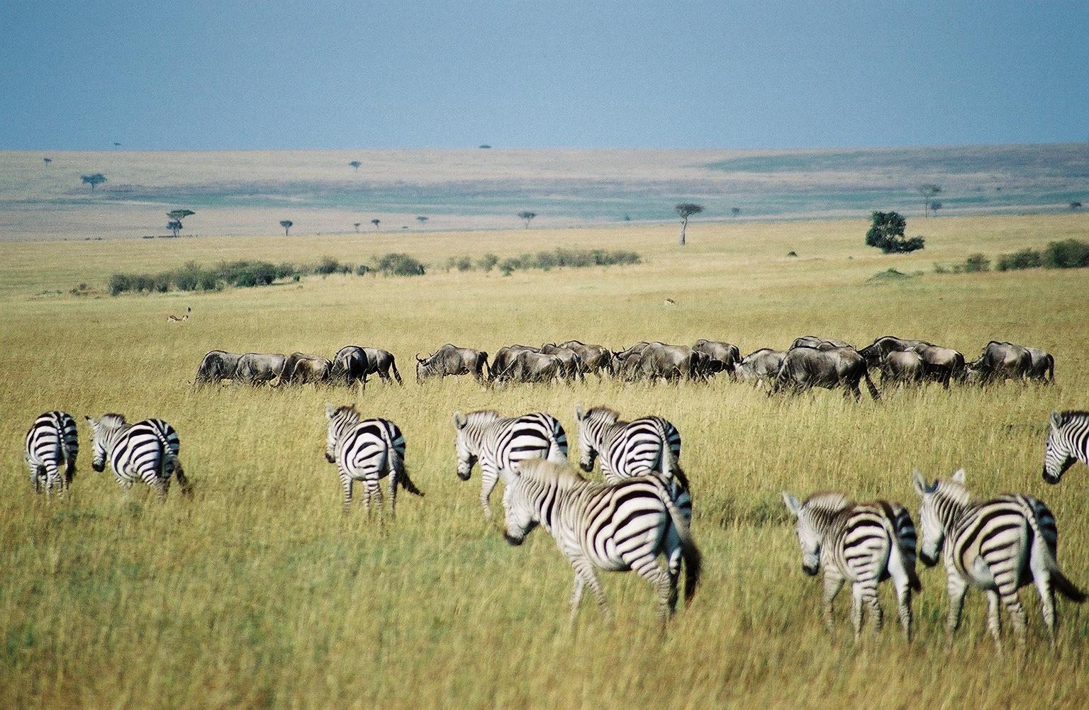 Les zèbres sont des animaux herbivores vivant principalement en Afrique centrale et australe. Leurs rayures troubleraient la vision de leurs prédateurs (lions, hyènes, lycaons, etc.), les aideraient à se camoufler mais aussi à réguler leur température corporelle. © Key45, Wikimedia Commons, CC by-sa 2.0