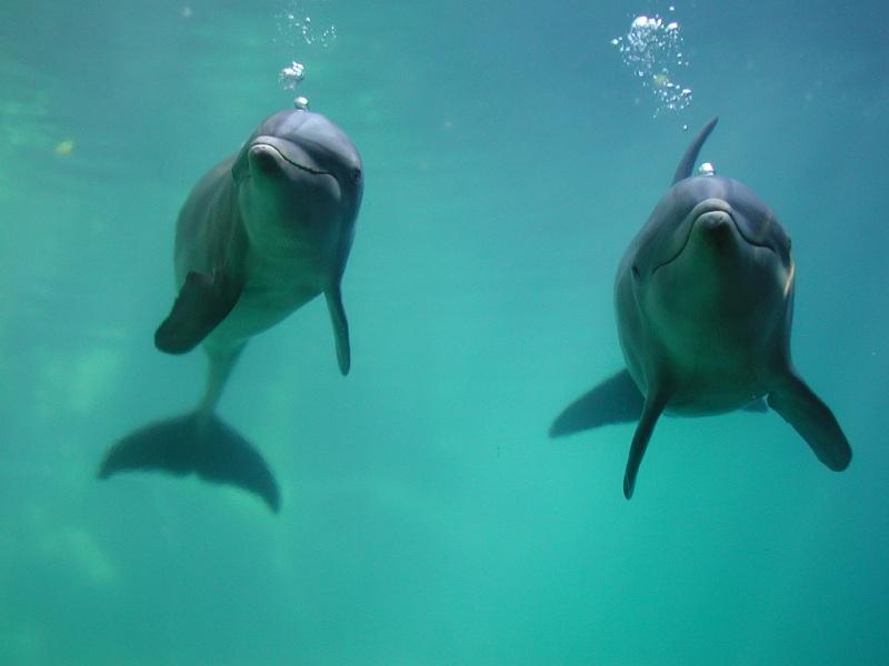Après la dernière fonte glaciaire, la Méditerranée, moins salée, a attiré des poissons et bien d'autres espèces. En provenance de l'Atlantique, les grands dauphins ont rapidement suivi. © Quintanarroense82, Wikimedia Commons, domaine public