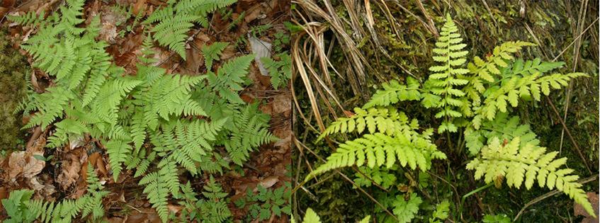 Issu d'une fougère Gymnocarpium (à gauche) et d'une fougère Cystopteris (à droite), l'hybride vert pâle « × Cystocarpium roskamianum » est stérile, mais se reproduit par voie végétative et se cultive bien en pépinière. © Jeffdelonge, Wikimedia Commons, CC by-sa 3.0 et Kenzaiz, Wikimedia Commons, domaine public
