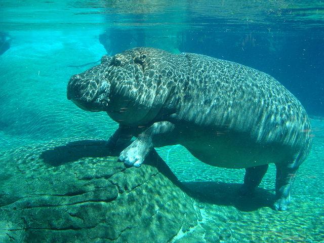 Les hippopotames (photo) ont eu pour cousin Epirigenys lokonensis, un mammifère 20 fois plus petit, de la taille d'un mouton d'environ 100 kg et qui devait passer également beaucoup de temps dans l'eau. © Cloudzilla, Wikimedia Commons, cc by sa 2.0