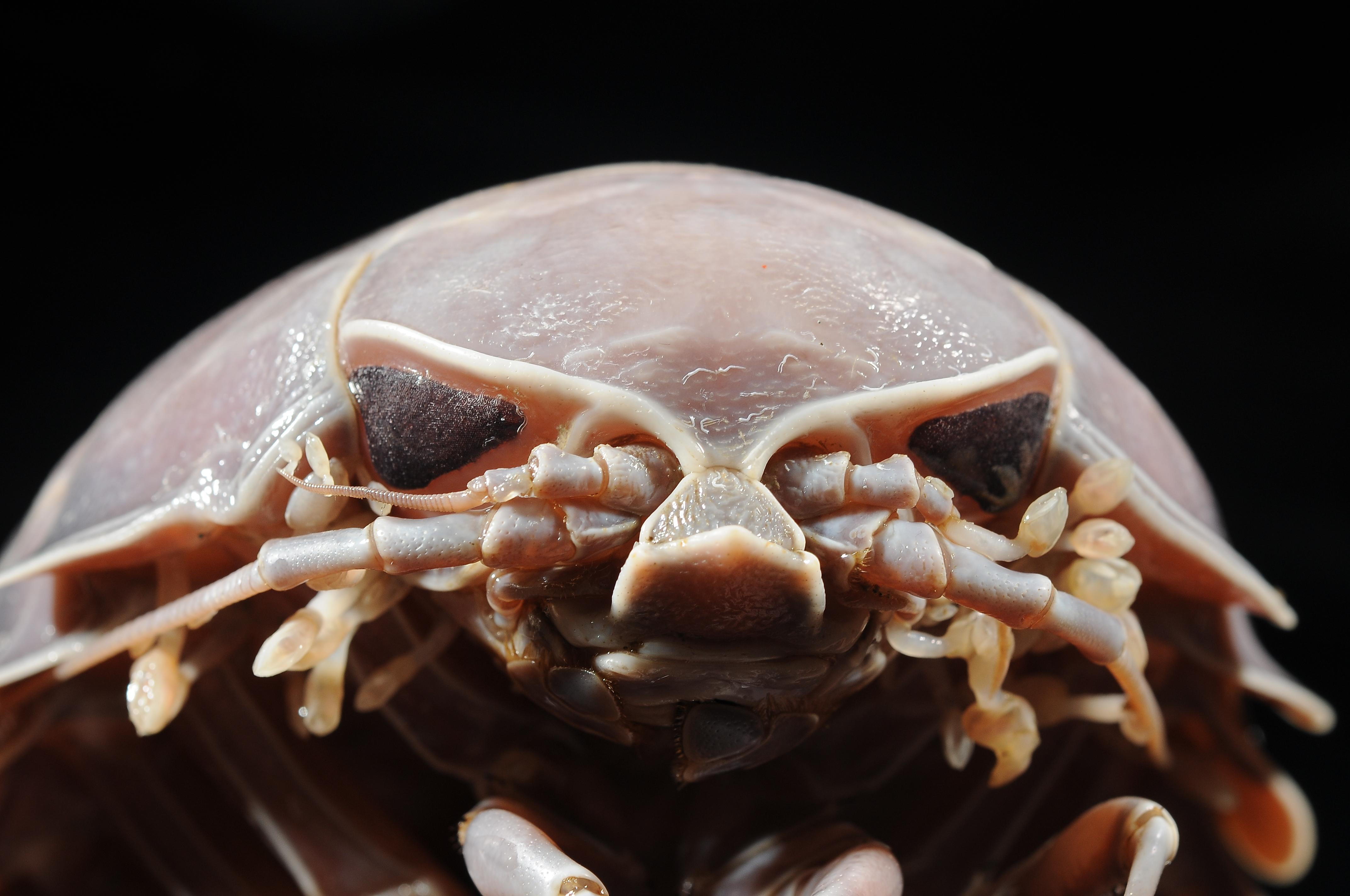 Les faunes de profondeur ne brillent pas par leurs couleurs, mais elles surprennent par les formes bizarres de certains animaux. En Guyane, la palme va sans aucun doute au Bathynomus, un isopode géant charognard, entre cloporte de cauchemar et animal de science-fiction . © Laure Corbari /Planète Revisitée en Guyane/MNHN/PNI