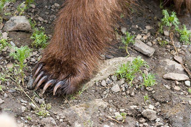 Patte avant d'un ours brun (Ursus arctos). Ce mammifère de 700 kg est capable de se redresser sur ses pattes. Cela pourrait expliquer pourquoi ses empreintes et ses apparitions ont alimenté le mythe du yéti. © Jim Chapman, Wikimedia Commons, CC by-sa 2.0