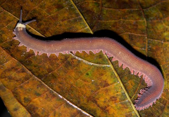 Vivant dans des milieux humides et chauds, les péripates se nourrissent d'insectes capturés de nuit en projetant sur eux une glu qui les immobilise. © Geoff Gallice, Wikimedia Commons, cc by sa 2.0