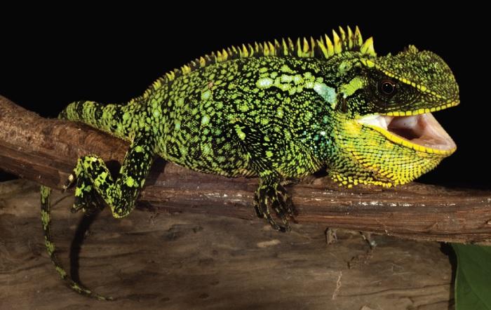 Le nom de l'espèce Enyalioides altotambo fait référence à la ville où elle a été trouvée, à Alto Tambo, en Équateur. © Omar Torres-Carvajal et al., ZooKeys