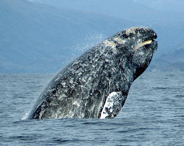 En provenance de Russie, une baleine grise, comme celle-ci, surnommée Varvara (Barbara, en russe), a traversé l'océan Pacifique d'ouest en est sur 10.880 km avant son retour. Le précédent record était détenu par une baleine à bosse : 9.800 km, entre les côtes du Brésil et de Madagascar. © Merrill Gosho, NOAA, Wikimedia Commons, domaine public