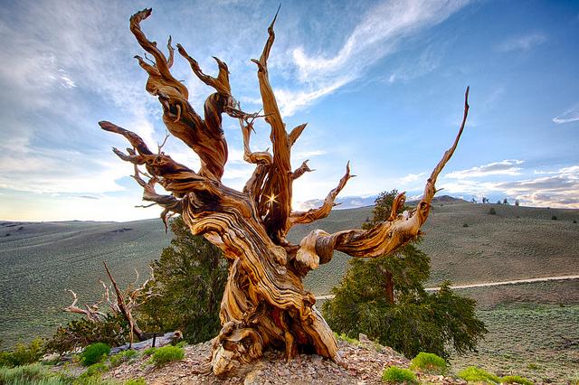 Le plus vieux pin Bristlecone (Pinus longaeva) connu aurait atteint l'âge de 4.900 ans, en Californie. Il a été abattu en 1964. © Chao Yen, Flickr, CC by-nd 2.0