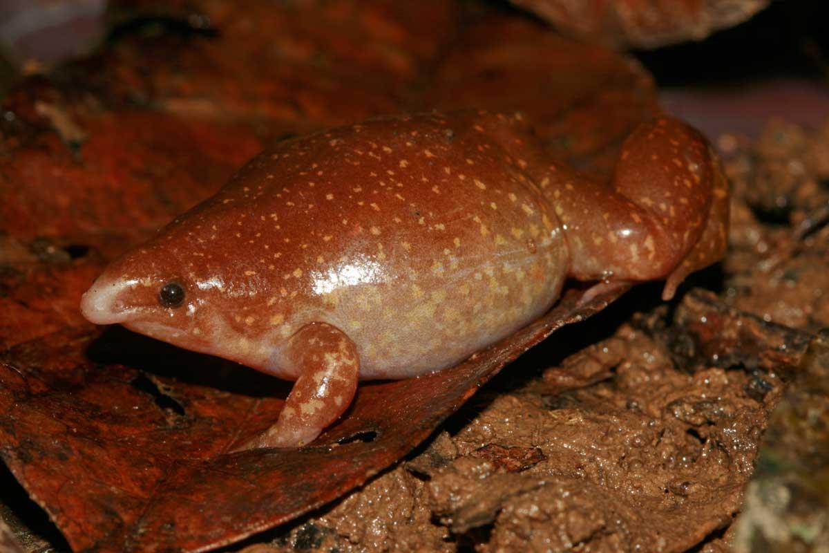 Un spécimen de Synapturanus salseri, une espèce d'amphibien de la famille des Microhylidés. © Maël Dewynter, MNHN, PNI