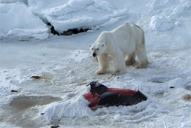 Un ours polaire sur le cadavre d'un dauphin à nez blanc, dont seule une partie de la couche de graisse externe a été retirée. Le prédateur l'a recouvert de neige au niveau de la queue en vue de le conserver pour un repas ultérieur. © 2015 J. Aars et al., Polar Research