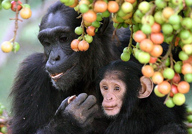 Les chimpanzés réagissent davantage lorsqu'un membre de leur groupe est en danger. © Alain Houle, Wikimedia Commons, CC by-sa 4.0