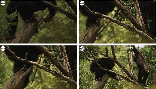 Exemple de chasse assistée d'un outil par les chimpanzés de Fongoli, au Sénégal. Un mâle adulte utilise une branche d'arbre modifiée (photos a, b, c) pour poignarder une proie réfugiée à l'intérieur d'une branche et qu'il finit par capturer (photo D) sous le regard de son jeune frère. © Pruetz et al., BBC
